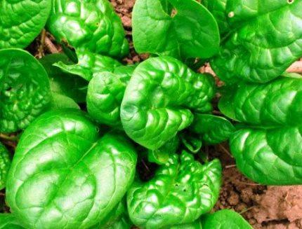 Филиевая кислота в шпинате